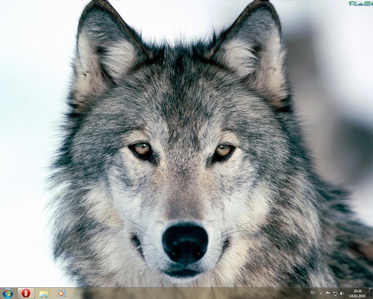скачать темы на компьютер волки